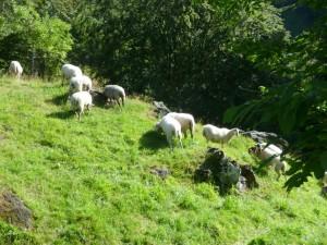 moutons au bord de la Gazelle